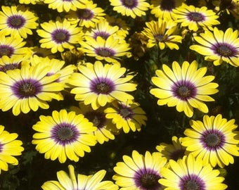 Livingstone Daisy mix,562,Dorotheanthus bellidiformis,gardening, flowers seeds, daisy seeds, spring flowers seeds,Osteospermum