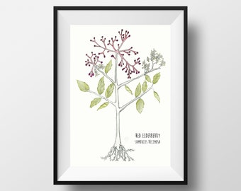 Red Elderberry Watercolor Print