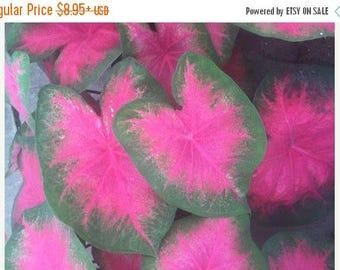 BIG SALE Caladiums ,Flamingo (Bulbs) Performs well in sun or shade. Fancy Leaf Elephant Ears !