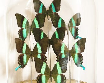 Butterflies in glass dome