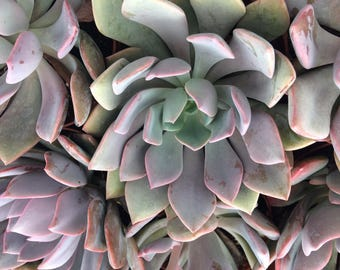 Medium Succulent Plant Graptoveria Little Debbie