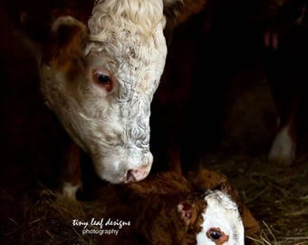 Momma Cow and Baby Calf Print 5x7 Original Photography