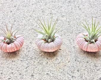 3 ionantha guatemala air plant in pink sea urchin shells - Tillandsia