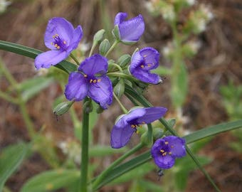 Ohio Spiderwort Seeds, Wildflower Seeds