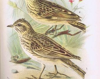 antique print skylark woodlark 1896