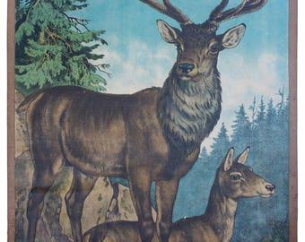 Deer, educational chart, 1891