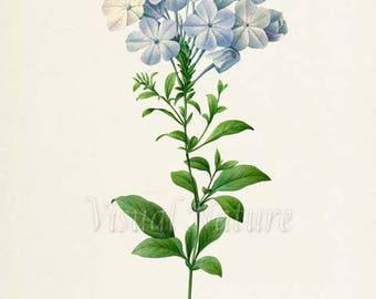 Plumbago Flower Art Print, Leadwort Botanical Art Print, Flower Wall Art, Flower Print, Floral Print, Redoute, blue,green, Plumbago caerulea