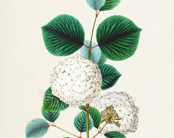 Japanese Snowball Bush Flower Art Print, Botanical Art Print, Flower Wall Art, Flower Print, Floral Print, white