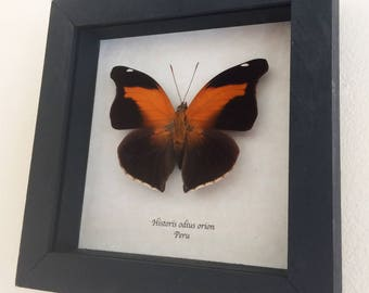 Real butterfly framed - Historis odius orion