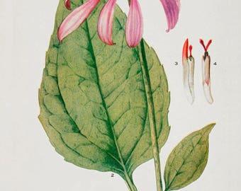 Echinacea seeds to ship