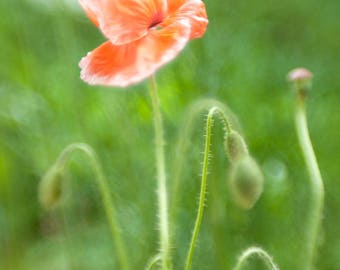 Photo of Red Poppies, Flower Print, Nature Photography