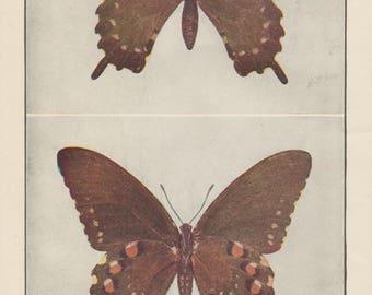 1917 Blue Swallowtail Butterflies Vintage Antique Print