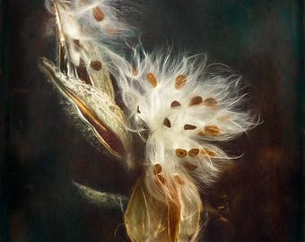 In the chiaroscuro milkweed