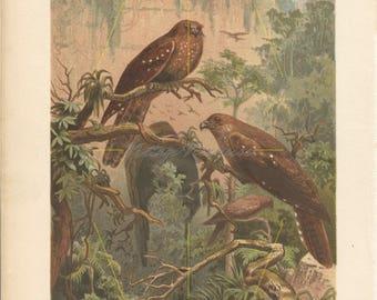 Antique Guácharo print. Oilbird wall art. Set of bird prints. South American bird. South American decor. Ornithology gift. Ornithology. 1882