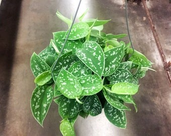 Philodendron plant etsy for Talea edera