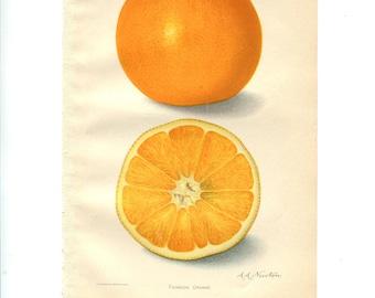 Antique Color Fruit Print - Thompson Orange - Botanical Print - Kitchen or Farm Decor.