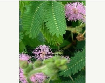 10 Seeds Sensitive Plant Mimosa pudica Leaves Move When Touched Colorful Flowers Ornamental Tropical Indoor or Outdoor Plant