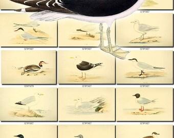 BIRDS-106 Collection of 107 vintage pictures Petrel Skua Gull Tern Guillemot Diver Grebe Auk Puffin digital download printable 300dpi animal