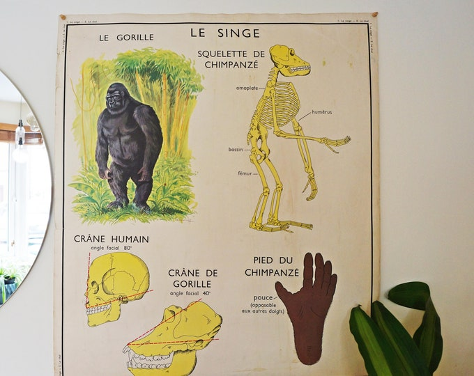 Gorilla Scientific Poster, Anatomy, Animals, Life Sciences, Vintage French School Poster, Double-Sided Poster, Monkey Poster, Cat Poster