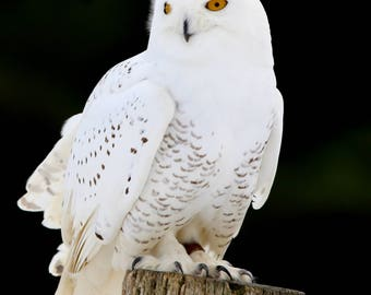 Snowy owl, owl, white, Bird of prey,