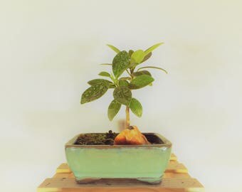 Green Island Ficus bonsai in a light green colored pot. Easy to care for and fun to train!