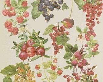 40% OFF SALE Berries Clipart Fruits Clip Art Blueberry Raspberry Blackberry , Forest Berries , Berries Illustration