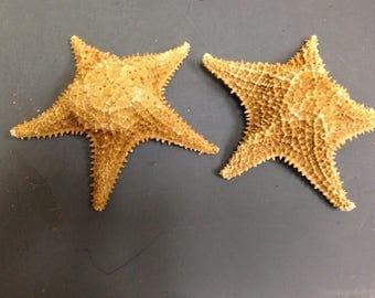 Caribbean/Bahama  Starfish  (EA)
