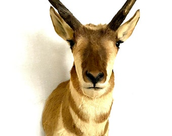 Taxidermy Pronghorn Antelope Head