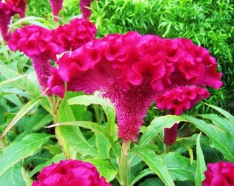 Celosia Cristata Pink, Edible Heirloom Crested Cockscomb, Flowering Plant Seeds