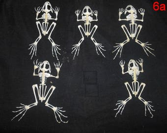 Taxidermy Real Frog Skeleton