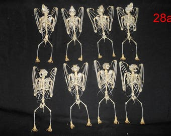 Taxidermy Bat Large Skeleton 8 Pcs