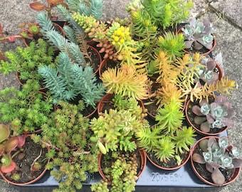 Set of 5 Mixed Sedum Alpine Plants in 5.5cm Pots. Fairy Garden/Terrarium/Wedding Favours