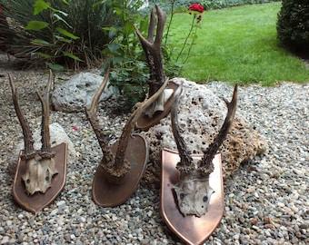Collection roedeer antlers * taxidermy * trophy * skull * bone * roebuck * deer * copper