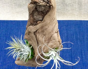 Air Plants grown in Oregon River Wood, Tillandsia Ionantha and Harisii, Natural Decorations, Burl Wood, Home Decor, Beautiful live plants!