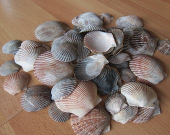 Seashells- SCALLOP shells, **50** Beautiful, Colorful! Coastal Decor, Beach Decor, Nautical Decor, Florida