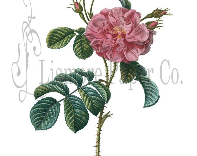 China Rose Print, Rose Illustration, Botanical Decor, Flower Decor, Digital Art, Printable Art, Instant Download, Architecture Decor, Craft