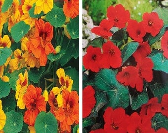 Tropaeolum majus mix (25 SEEDS) OR Tropaeolum majus red (20 SEEDS)