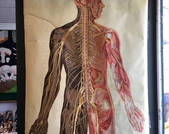 Charter anatomical vintage system nervous size nature 7'