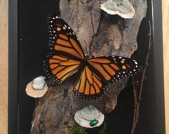 REAL monarch butterfly shadow box