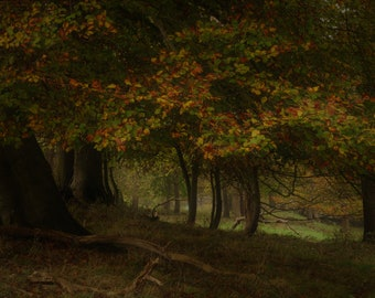 Autumn Beech Trees in Woodland at Fox Covert North Hertfordshire November 2017