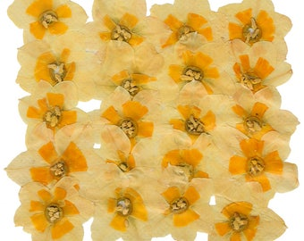 Pressed flowers, yellow daffodils 20pcs for floral art, craft, card making, scrapbooking