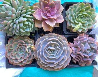 Echeveria Succulent Box (6 succulents)