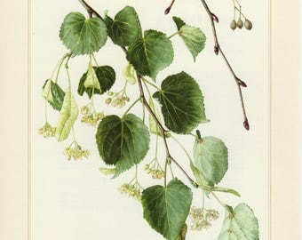 Vintage lithograph of small-leaved lime from 1958