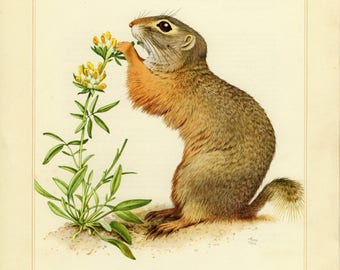 Vintage lithograph of the European ground squirrel from 1956