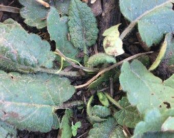 Wood Betony Tincture, Stachys officinalis organic herb