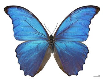 Real Morpho didius butterfly A1 quality - Taxidermy / butterfly / insects / unmounted / folded / wings close / Mounted