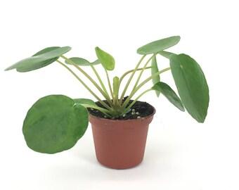 "Pilea peperomioides (2"" Pot) (Chinese money plant / Pancake plant / UFO plant)"