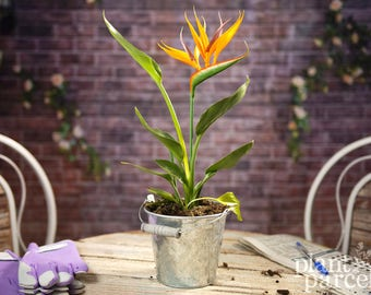 Strelitzia Bird Of Paradise - Indoor Orange Plant - Colourful Conservatory Gift plant  - Ideal gift for all occasions.