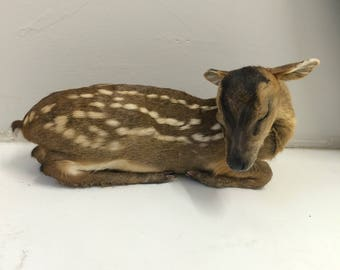 Taxidermy fawn (baby deer) rare