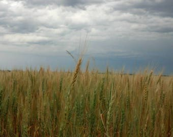Wheat Field In Oklahoma
